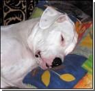 Едва держась на лапах, пьяный пес шокировал врачей
