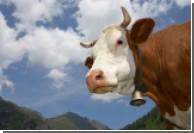В Британии зафиксировали случай гибели человека от коровьего бешенства