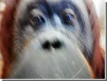 Сделанные орангутангом фотографии выставили на eBay