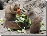 Из зоопарка в Огайо сбежали луговые собачки