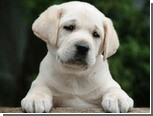 Лабрадор признан самой популярной собакой США