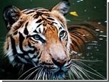Малайской тигрице поставили искусственный сустав