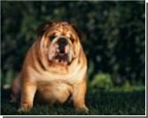 В продажу поступили собачьи таблетки для сжигания жира. ФОТО