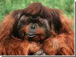 Расшифрован геном орангутана