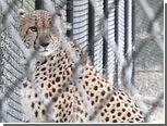 Пони из немецкого зоопарка дала отпор гепарду-беглецу