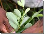 Боливия отстояла право своих жителей жевать листья коки