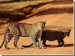 В Замбии запретили охоту на львов и леопардов