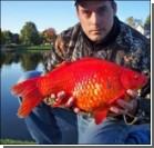 Американец поймал гигантскую золотую рыбку. Фото, видео