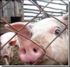 """Японские ученые выращивают """"свиночеловека"""". Видео"""