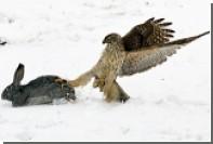 Видеокамера на голове ястреба подсказала лучший способ спастись от хищника