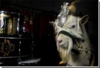 Королевские валлийцы обзавелись новым козлом