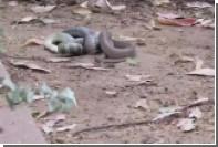 Змея съела побежденную в схватке змею и срыгнула ее