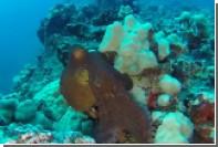 Метаморфозы испуганного осьминога показали на видео