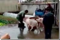 Свинья вытащила собрата из-под ножа мясника