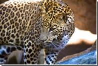 Леопард утащил и съел двух детей в Индии