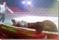 Нападение льва и тигра на цирковую лошадь попало на видео