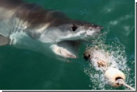 Рыбаки случайно приманили шестиметровую акулу вместо карася