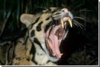 Беглый леопард пять дней бесчинствовал в британской деревне