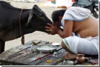 В Индии заключенные пройдут терапию коровами
