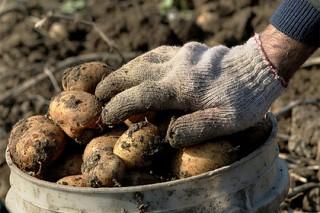 Россиянам предрекли картофельный кризис