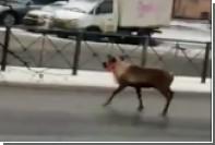 Бегающего по улицам Петербурга оленя засняли на видео