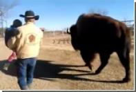 Супруги из Техаса сделали из гигантского бизона домашнее животное
