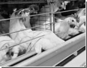 Продажам российской курятины мешает ее цена