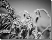 Качество пшеницы ставит под сомнение качество хлеба