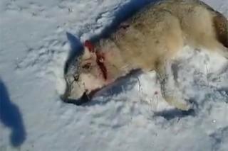 Казахский волк «восстал из мертвых» и отомстил охотнику