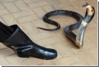 Змея «духовно» проглотила многомиллионную выручку нигерийских чиновников