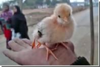 В Индии родился четырехлапый цыпленок