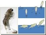 Биологи нашли у планктона способность летать