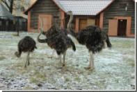 Пугливый страус погиб в зоопарке Калининграда из-за посетителей