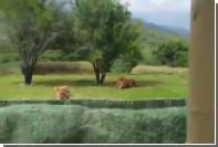 В Мексике пытавшаяся допрыгнуть до туристов львица упала в обрыв