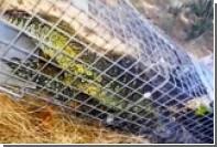 В американском городе поймали нильского варана длиной более метра