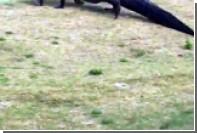 Аллигатор с рыбиной в зубах вышел на поле для гольфа во Флориде