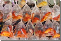 Власти заставят голландца выловить из канала 80 золотых рыбок