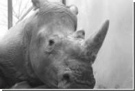 Браконьеры убили носорога в зоопарке под Парижем ради редкого рога