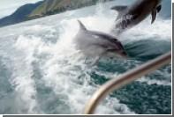 В Новой Зеландии стаю из 20 дельфинов сняли на видео