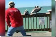 Американцы поймали пеликана и освободили его от лески