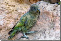 Попугаи-наркоманы съели урожай индийского опиума