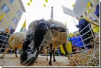 Пострадавшие от землетрясения фермеры Италии пришли на протест в компании овец
