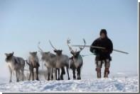 Оленеводы Ямала получат господдержку в размере почти 800 миллионов рублей