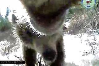 Кровожадных медведей показали на видео