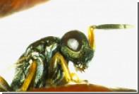 Созданы генетически модифицированные паразитические осы
