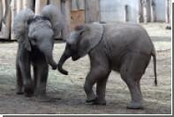 Слон оказался самым бодрствующим млекопитающим