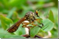 В МГУ завезли хищных мух