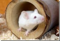 В МГУ создали карту генома мыши