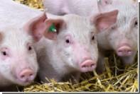 Созданы неуязвимые для респираторных вирусов свиньи
