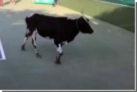 Корова поучаствовала в теннисном матче в Индии